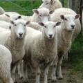 羊の国NZ