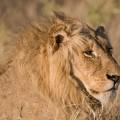 ライオンズがやってきた