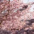NZは桜が満開
